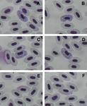 Haemoproteus magnus